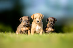 Three small puppies Royalty Free Stock Photography