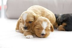 Three small puppies snuggling Stock Photography