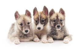 Three small puppies. Royalty Free Stock Photography