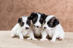 Three small puppy Papillon royalty free stock images