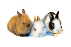 Three small rabbits isolated Royalty Free Stock Images
