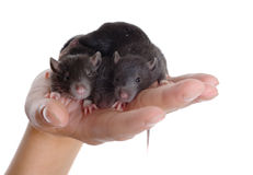 Three small rats Royalty Free Stock Images