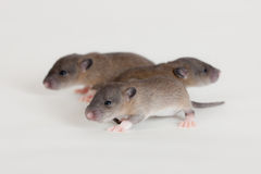 Three small rats. Very small infant rats on white background Royalty Free Stock Photos