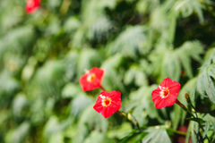 Three small red flowers Stock Photo