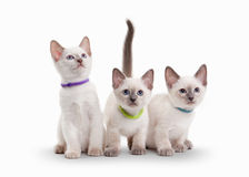 Three small thai kittens on white background Royalty Free Stock Images
