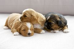 Three small puppies snuggling Royalty Free Stock Image