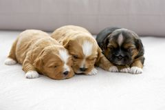 Three small puppies snuggling Stock Image