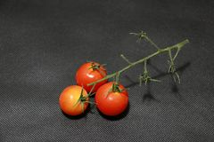 Three small tomato with stalk on the black floor. a glossy red. Three small tomato with stalk on the black floor. a glossy red, pulpy edible fruit that is Stock Images