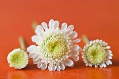 Three small white chrysanthemum Stock Photography