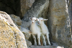 Three small white wild goats on mountain. Three small white wild goats in the mountain cave Stock Photos