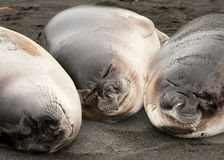 Three smiling baby Elephant Seals Stock Photography