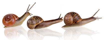 Three snails. On a row on a white background Stock Image