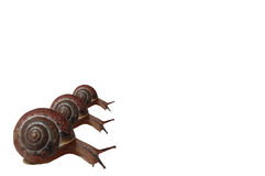Three snails crawling in the lower left corner Royalty Free Stock Photography