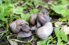 Three snails in the grass Stock Photos