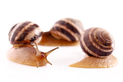Three snails isolated Stock Photography