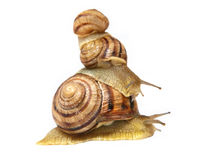 Three snails.Isolated. Stock Image