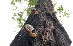 Three snails racing up a tree Royalty Free Stock Images