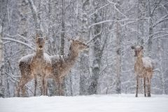 Three Snow-Covered Female Red Deer Cervidae Stand At The Outskirts Of Snow-Covered Birch Forest. Let It Snow: Noble Deer Ce. Rvus Elaphus During A Heavy WInter stock photo