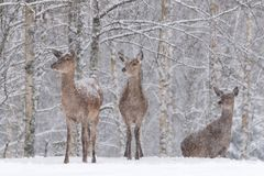 Three Snow-Covered Female Red Deer Cervidae Stand On The Outskirts Of A Snow-Covered Birch Forest. Let It Snow: Noble Deer. Cervus Elaphus During A Heavy WInter royalty free stock image