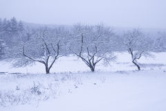 Three snow covered trees. Stock Images