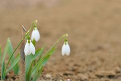 Three snow drop in spring Royalty Free Stock Photos