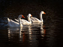 Three snow geese Stock Photography