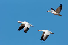 Three Snow Geese in Flight Royalty Free Stock Image
