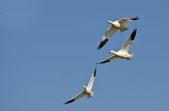Three Snow Geese Flying in a Blue Sky Stock Photos