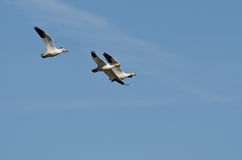 Three Snow Geese Flying in a Blue Sky Royalty Free Stock Images