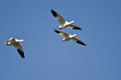 Three Snow Geese Flying in a Blue Sky Royalty Free Stock Image