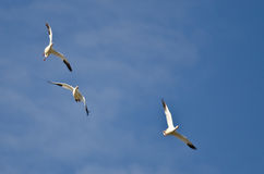 Three Snow Geese Flying in a Blue Sky Royalty Free Stock Photography