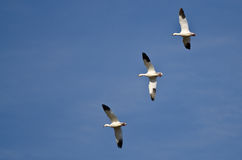 Three Snow Geese Flying in a Blue Sky Royalty Free Stock Photos