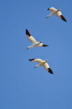 Three Snow Geese Flying in a Blue Sky Stock Photography