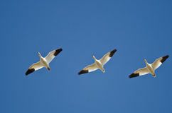 Three Snow Geese Flying in a Blue Sky Stock Images