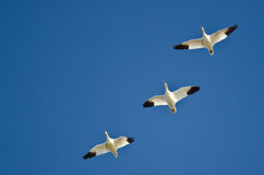 Three Snow Geese Flying in a Blue Sky Stock Photo