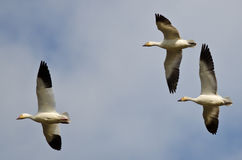 Three Snow Geese Flying in a Cloudy Sky Stock Photography