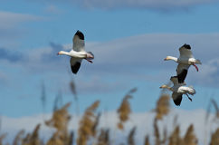 Three Snow Geese Landing in the Marsh Royalty Free Stock Photo