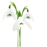 Three snowdrop flowers isolated on white background Royalty Free Stock Photography
