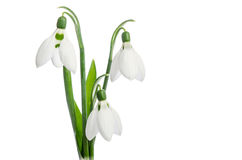 Three snowdrop flowers Stock Images