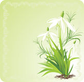 Three snowdrops. Decorative card Royalty Free Stock Image