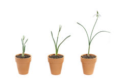 Three snowdrops in terracotta pots. Three snowdrops of various stages of growth in terracotta plant pots on a white background Royalty Free Stock Photography