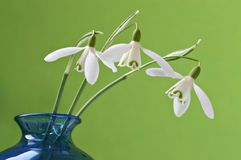 Three snowdrops in a vase. Three snowdrops in a blue vase with green background Royalty Free Stock Photography