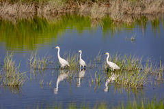 Three Snowy Egrets Royalty Free Stock Photos
