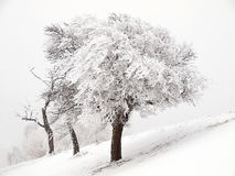 Three snowy trees. In a winter landscape Stock Photography