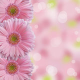 Three soft light pink gerbera daisy flowers with abstract bokeh background and blank space stock image