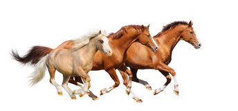 Three sorrel horses gallop  - isolated on white. Three horses gallop - isolated on white Royalty Free Stock Photography