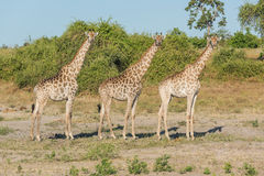 Three South African giraffe side-by-side in bush Royalty Free Stock Image