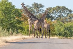 Three South African giraffes in a road. In the Mpumalanga Province of South Africa stock photo