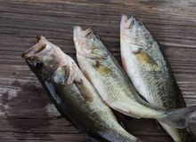 Three southern largemouth bass Royalty Free Stock Images