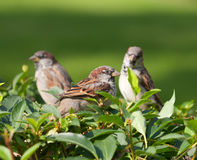 Three sparrows Royalty Free Stock Photo